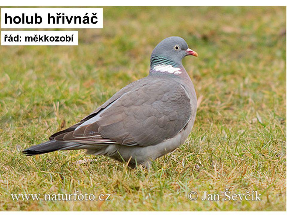 holub hřivnáč řád: měkkozobí