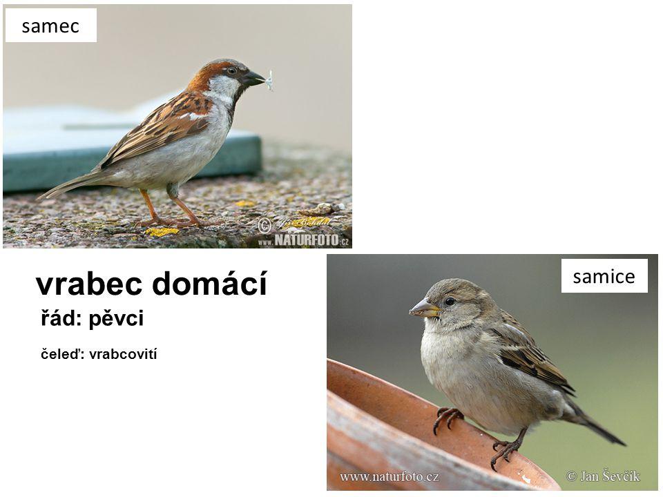 samec vrabec domácí samice řád: pěvci čeleď: vrabcovití