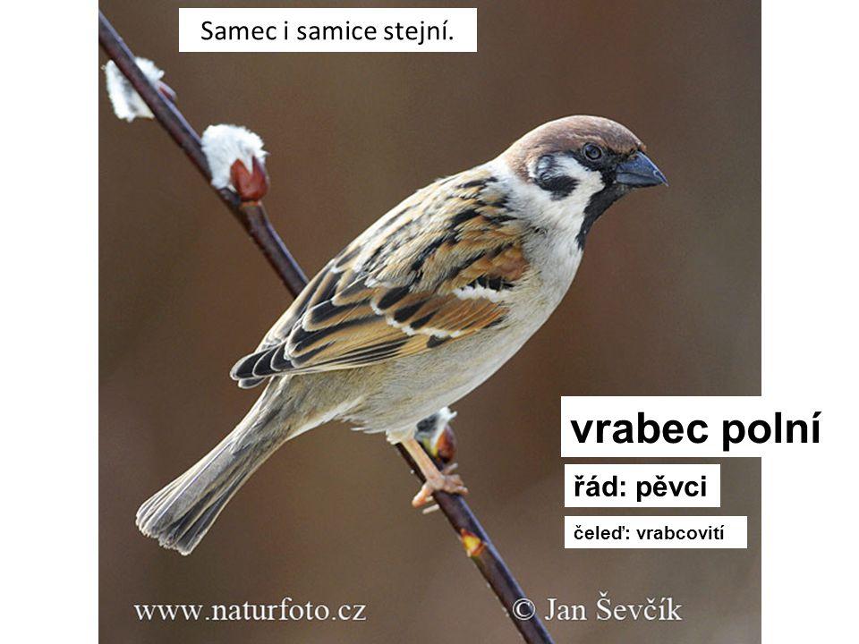 Samec i samice stejní. vrabec polní řád: pěvci čeleď: vrabcovití