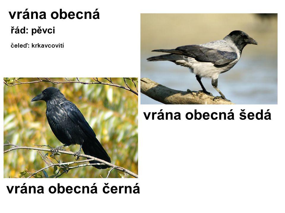 vrána obecná vrána obecná šedá vrána obecná černá řád: pěvci