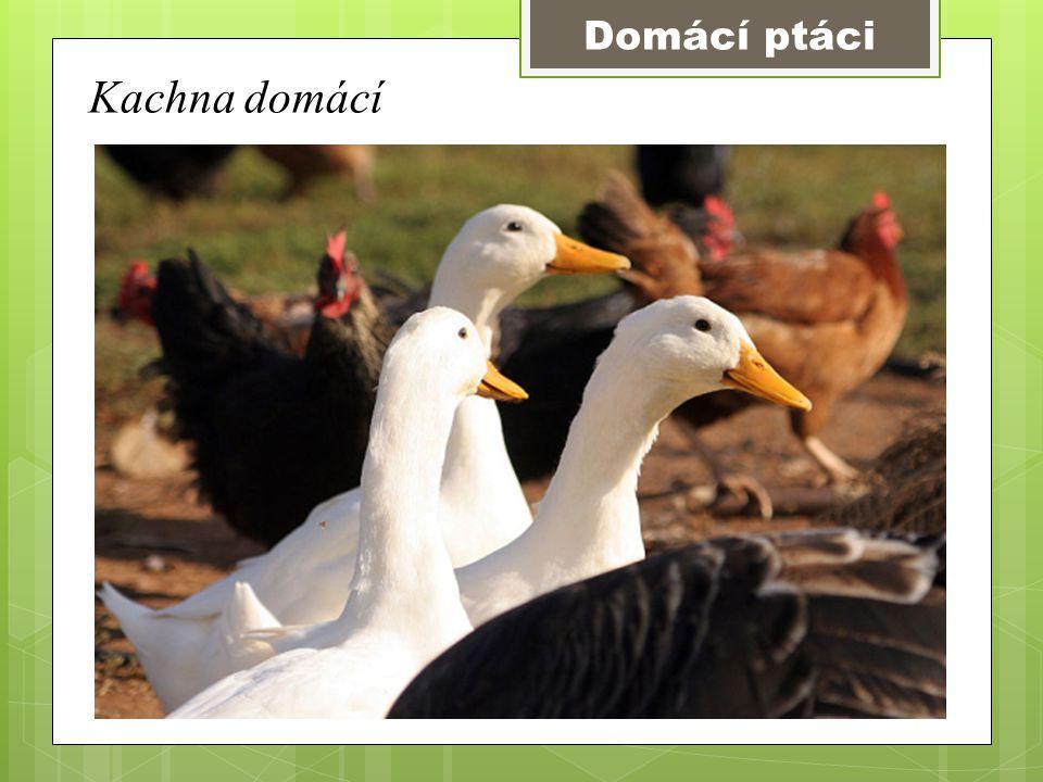 Domácí ptáci Kachna domácí