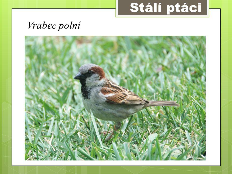 Stálí ptáci Vrabec polní