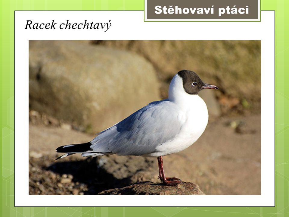 Stěhovaví ptáci Racek chechtavý