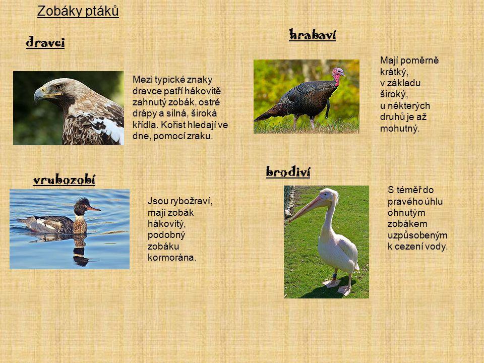 Zobáky ptáků hrabaví dravci brodiví vrubozobí