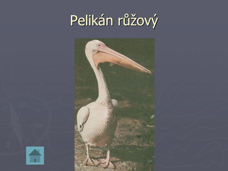 Pelikán růžový