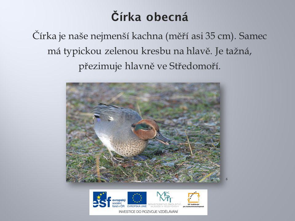 Čírka obecná Čírka je naše nejmenší kachna (měří asi 35 cm). Samec má typickou zelenou kresbu na hlavě. Je tažná, přezimuje hlavně ve Středomoří.
