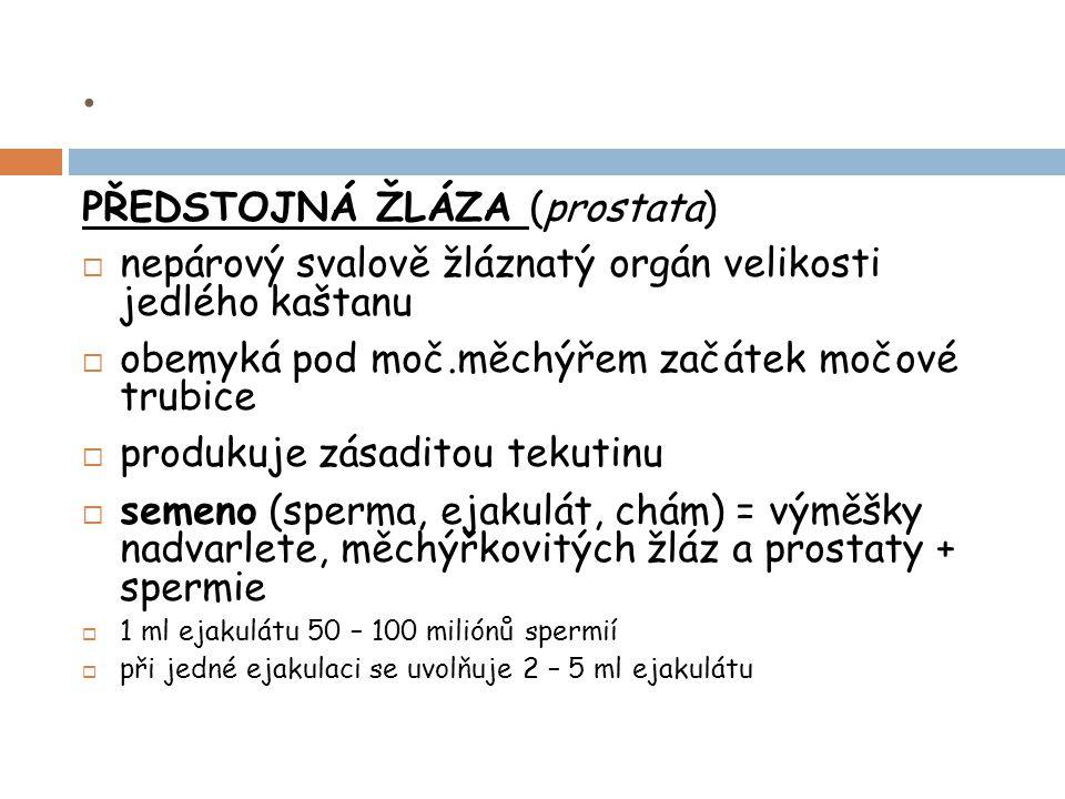 . PŘEDSTOJNÁ ŽLÁZA (prostata)