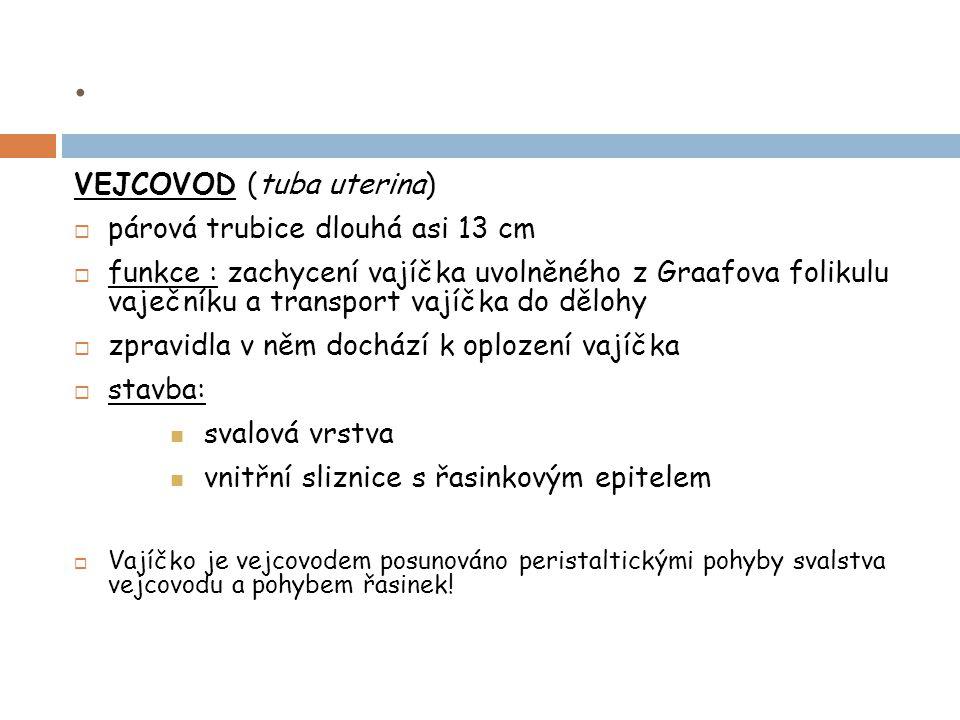 . VEJCOVOD (tuba uterina) párová trubice dlouhá asi 13 cm