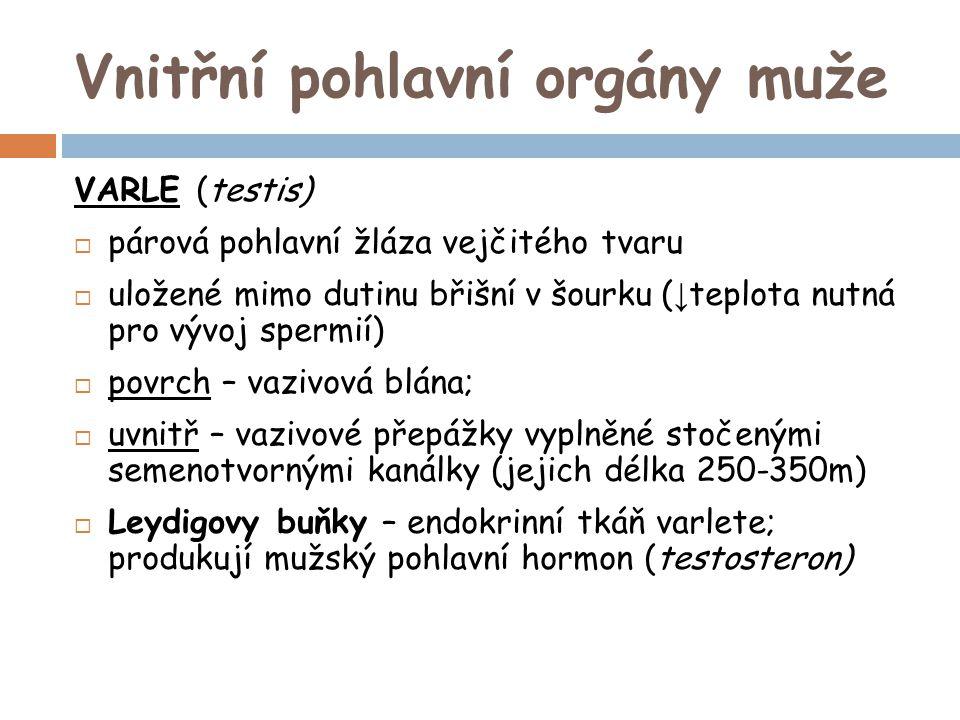 Vnitřní pohlavní orgány muže