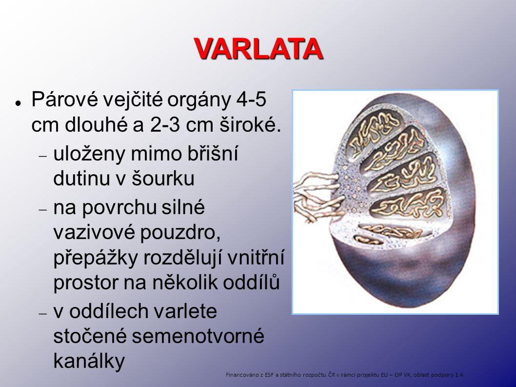 VARLATA Párové vejčité orgány 4-5 cm dlouhé a 2-3 cm široké.