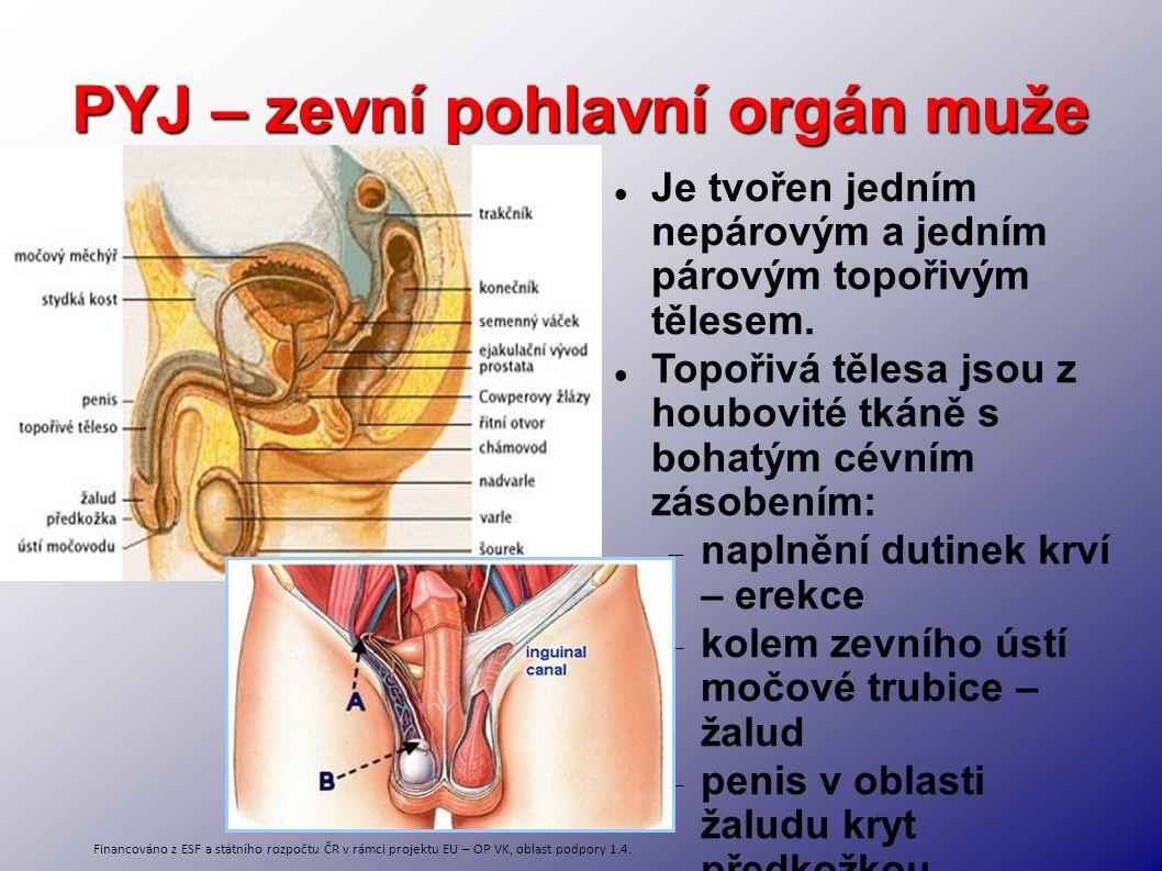 PYJ – zevní pohlavní orgán muže