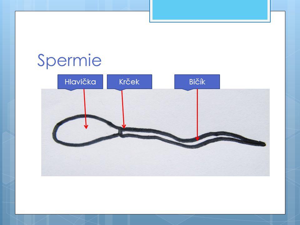 Spermie Hlavička Krček Bičík