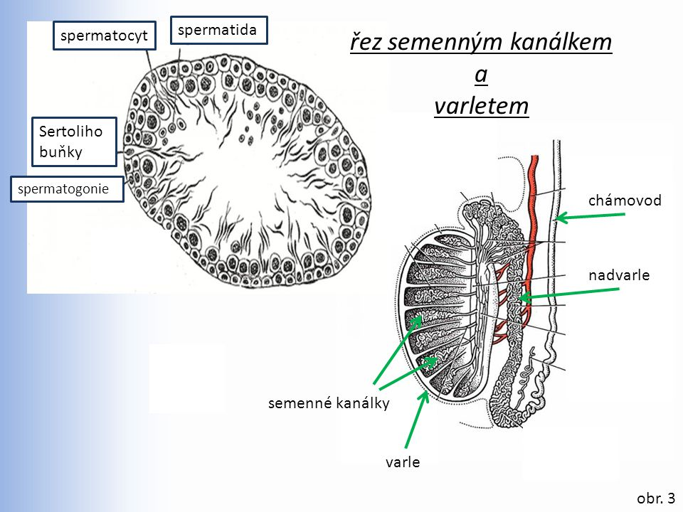 řez semenným kanálkem a varletem spermatida spermatocyt