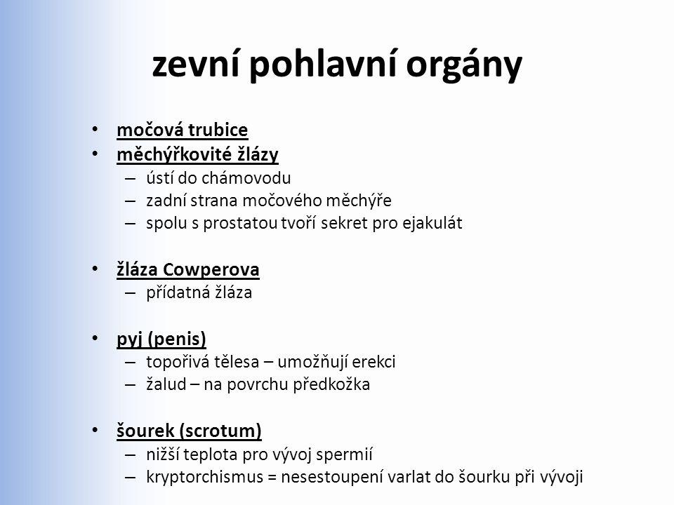 zevní pohlavní orgány močová trubice měchýřkovité žlázy