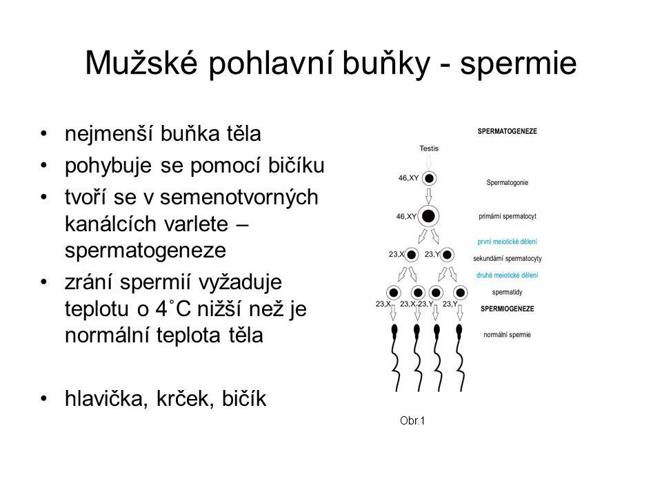 Mužské pohlavní buňky - spermie