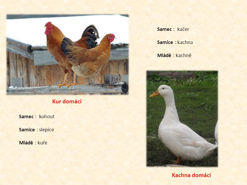 Kur domácí Kachna domácí