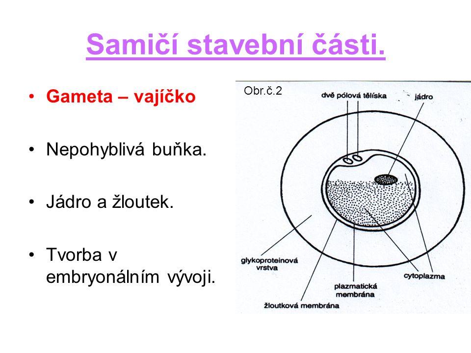 Samičí stavební části. Gameta – vajíčko Nepohyblivá buňka.