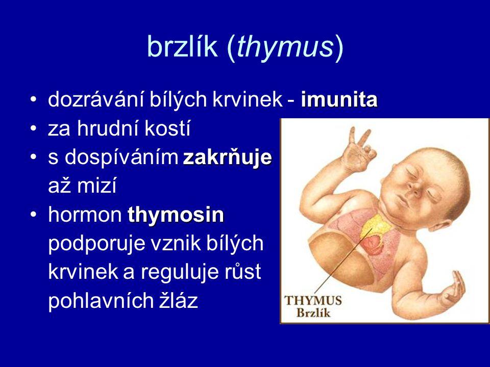 brzlík (thymus) dozrávání bílých krvinek - imunita za hrudní kostí