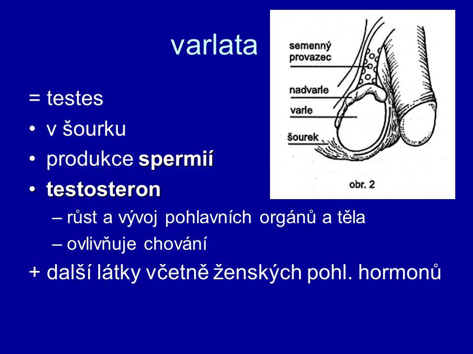 varlata = testes v šourku produkce spermií testosteron
