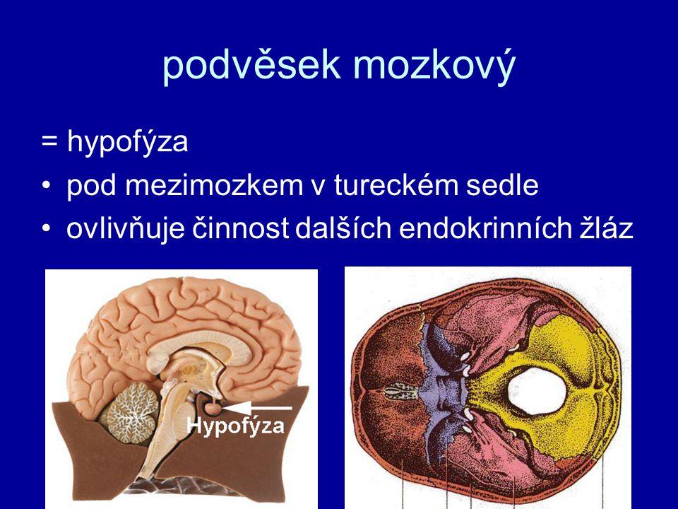 podvěsek mozkový = hypofýza pod mezimozkem v tureckém sedle