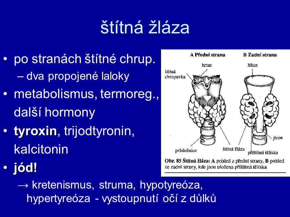 štítná žláza po stranách štítné chrup. metabolismus, termoreg.,
