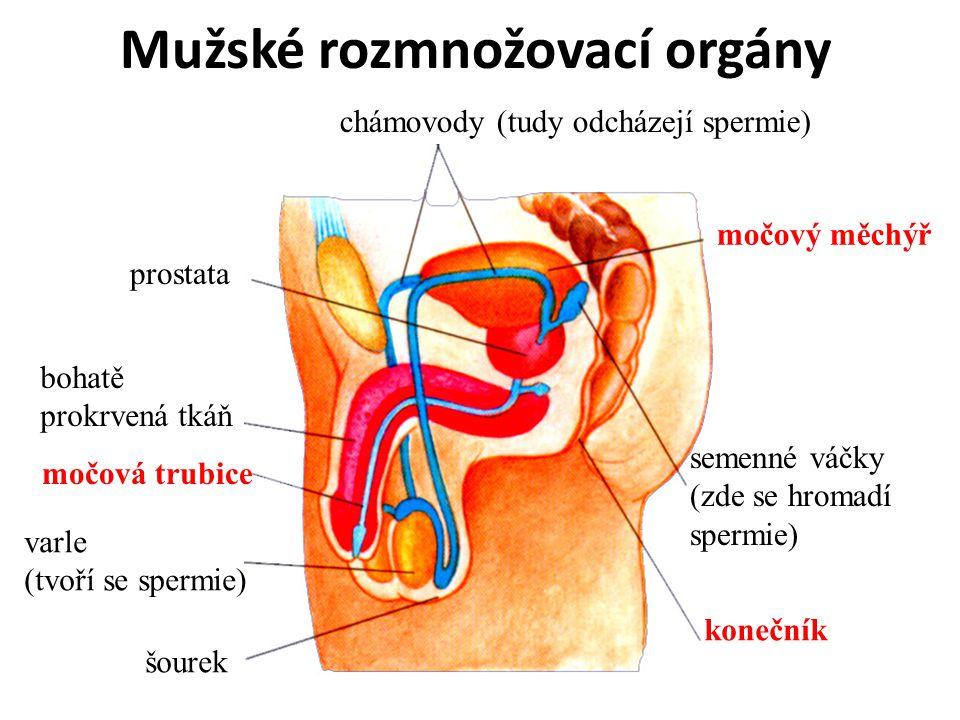 Mužské rozmnožovací orgány
