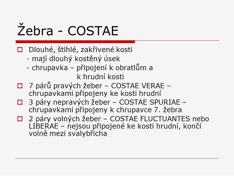 Žebra - COSTAE Dlouhé, štíhlé, zakřivené kosti
