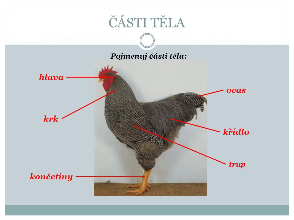 ČÁSTI TĚLA Pojmenuj části těla: hlava ocas krk křídlo trup končetiny