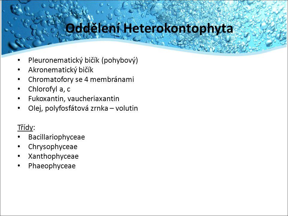 Oddělení Heterokontophyta
