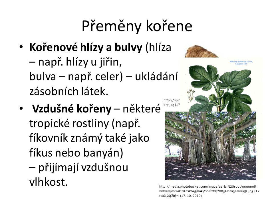 Přeměny kořene Kořenové hlízy a bulvy (hlíza – např. hlízy u jiřin, bulva – např. celer) – ukládání zásobních látek.