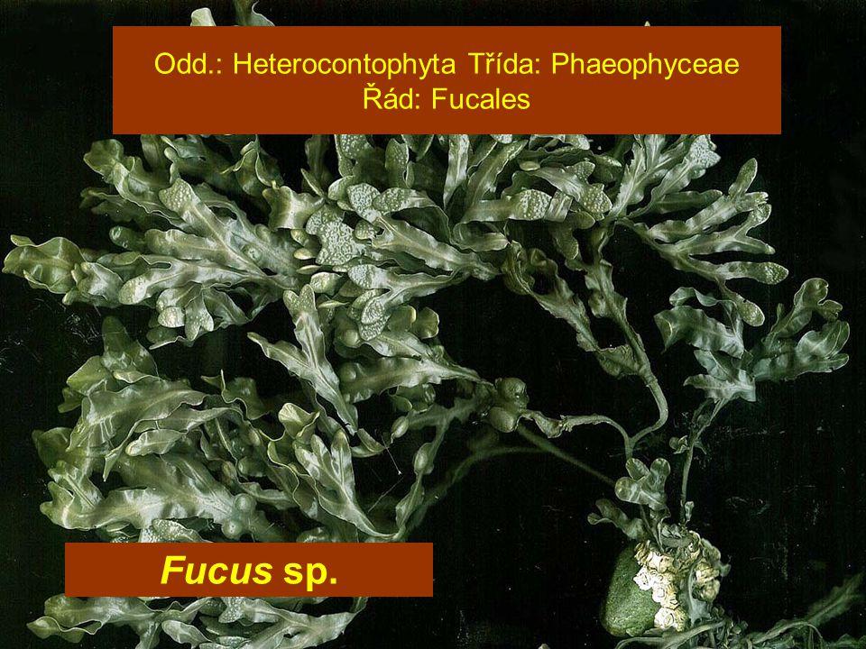 Odd.: Heterocontophyta Třída: Phaeophyceae Řád: Fucales