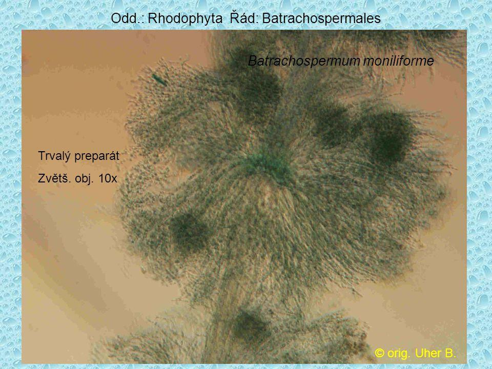 Odd.: Rhodophyta Řád: Batrachospermales
