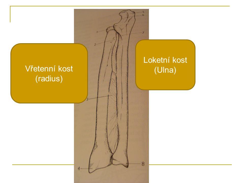 Vřetenní kost (radius)