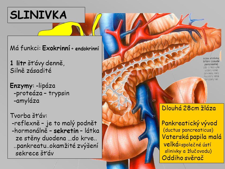 SLINIVKA Má funkci: Exokrinní + endokrinní 1 litr šťávy denně,