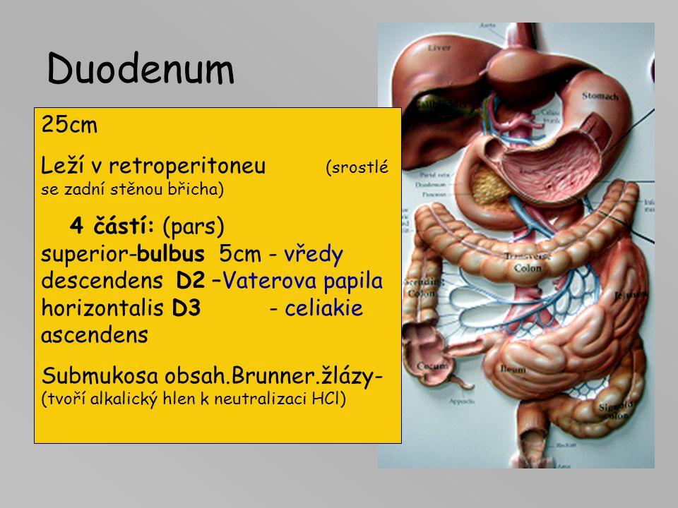 Duodenum 25cm Leží v retroperitoneu (srostlé se zadní stěnou břicha)