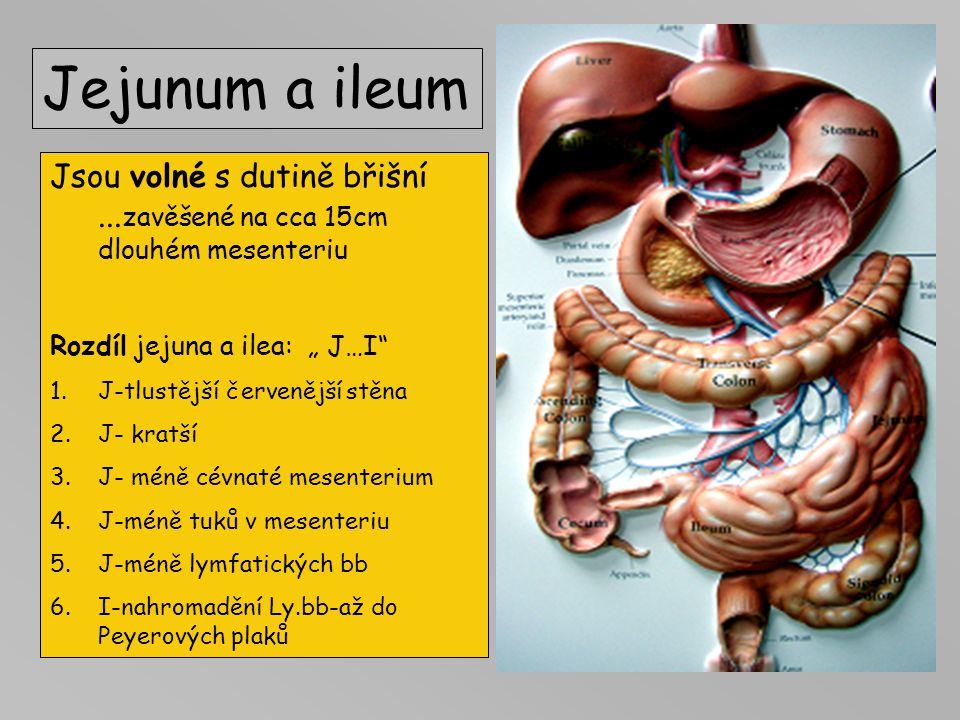 """Jejunum a ileum Jsou volné s dutině břišní ...zavěšené na cca 15cm dlouhém mesenteriu. Rozdíl jejuna a ilea: """" J…I"""