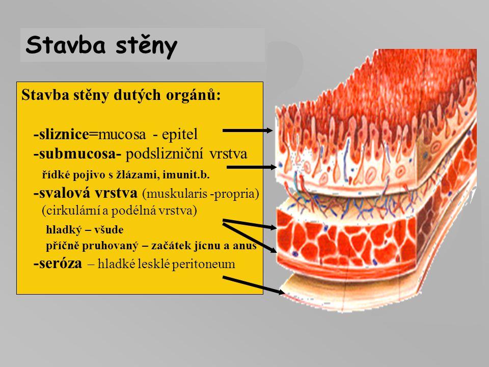 Stavba stěny Stavba stěny dutých orgánů: -sliznice=mucosa - epitel