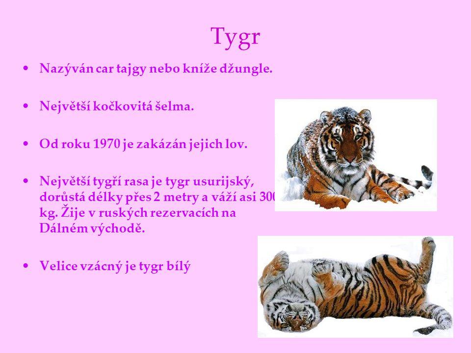 Tygr Nazýván car tajgy nebo kníže džungle. Největší kočkovitá šelma.