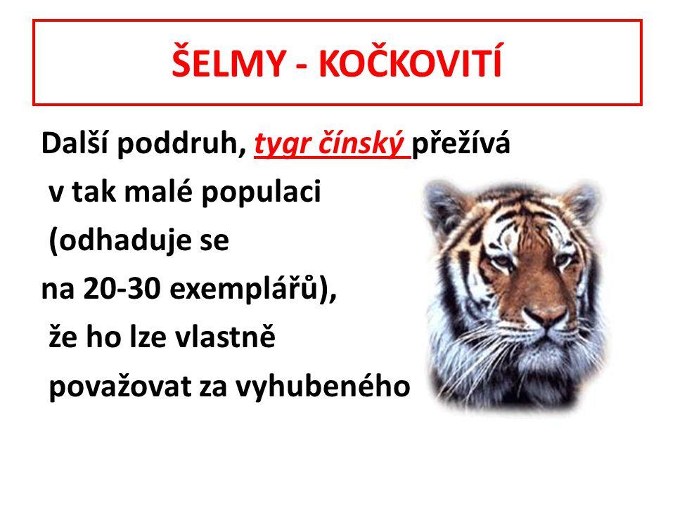 ŠELMY - KOČKOVITÍ Další poddruh, tygr čínský přežívá v tak malé populaci (odhaduje se na 20-30 exemplářů), že ho lze vlastně považovat za vyhubeného