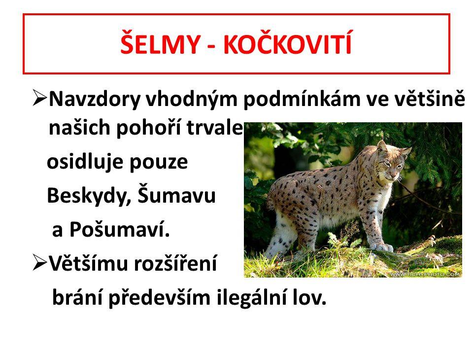 ŠELMY - KOČKOVITÍ Navzdory vhodným podmínkám ve většině našich pohoří trvale. osidluje pouze. Beskydy, Šumavu.