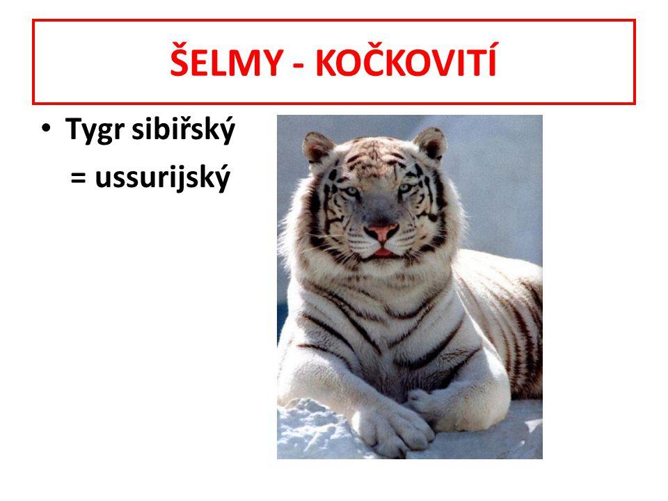 ŠELMY - KOČKOVITÍ Tygr sibiřský = ussurijský
