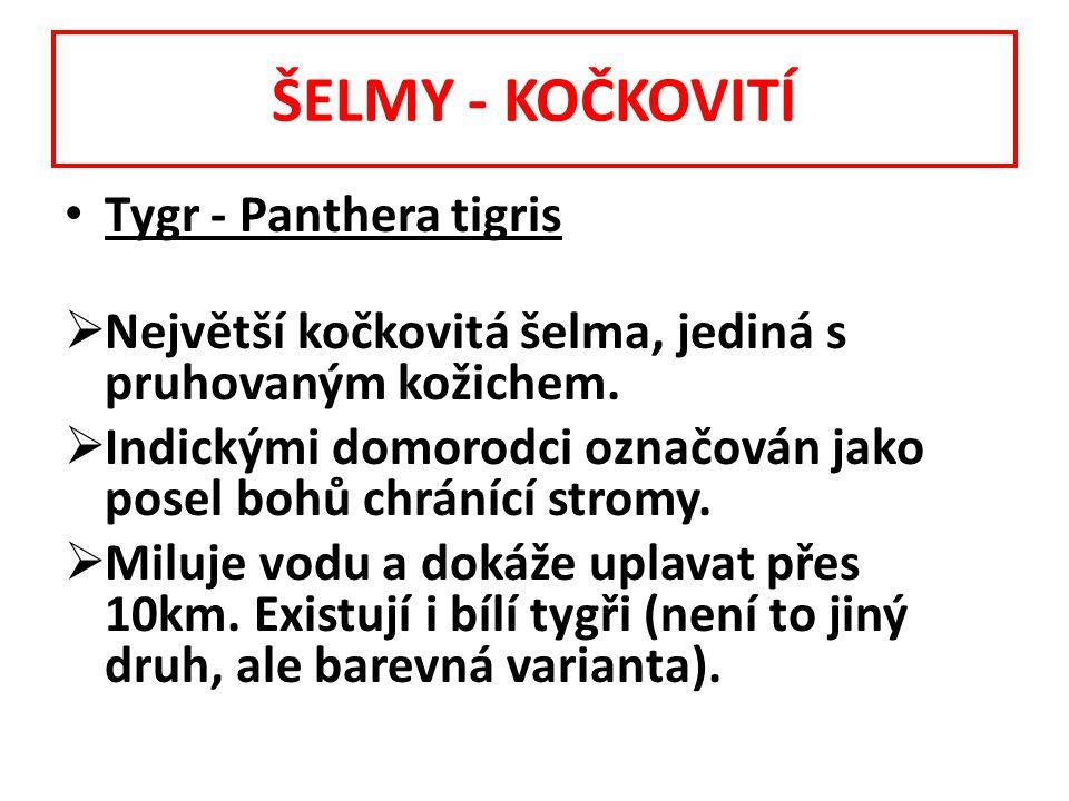 ŠELMY - KOČKOVITÍ Tygr - Panthera tigris