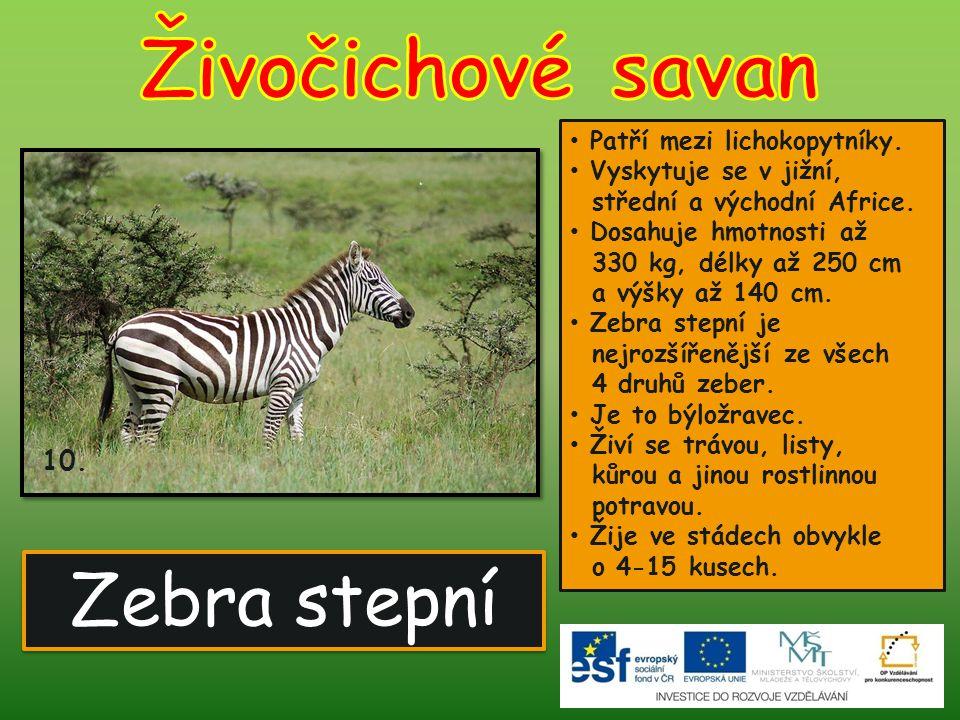 Živočichové savan Zebra stepní 10. Patří mezi lichokopytníky.