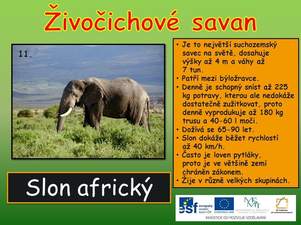 Živočichové savan Slon africký 11.
