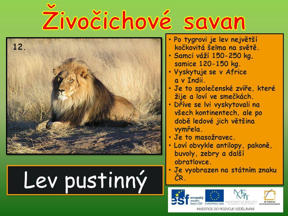 Živočichové savan Lev pustinný 12.