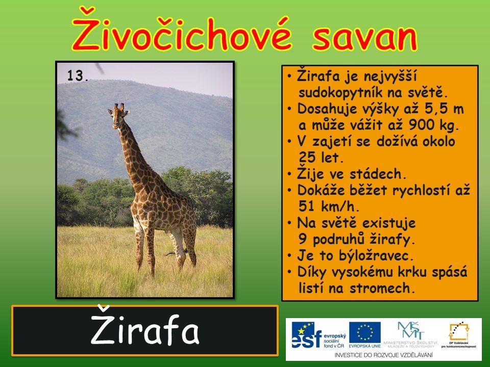 Živočichové savan Žirafa 13. Žirafa je nejvyšší sudokopytník na světě.