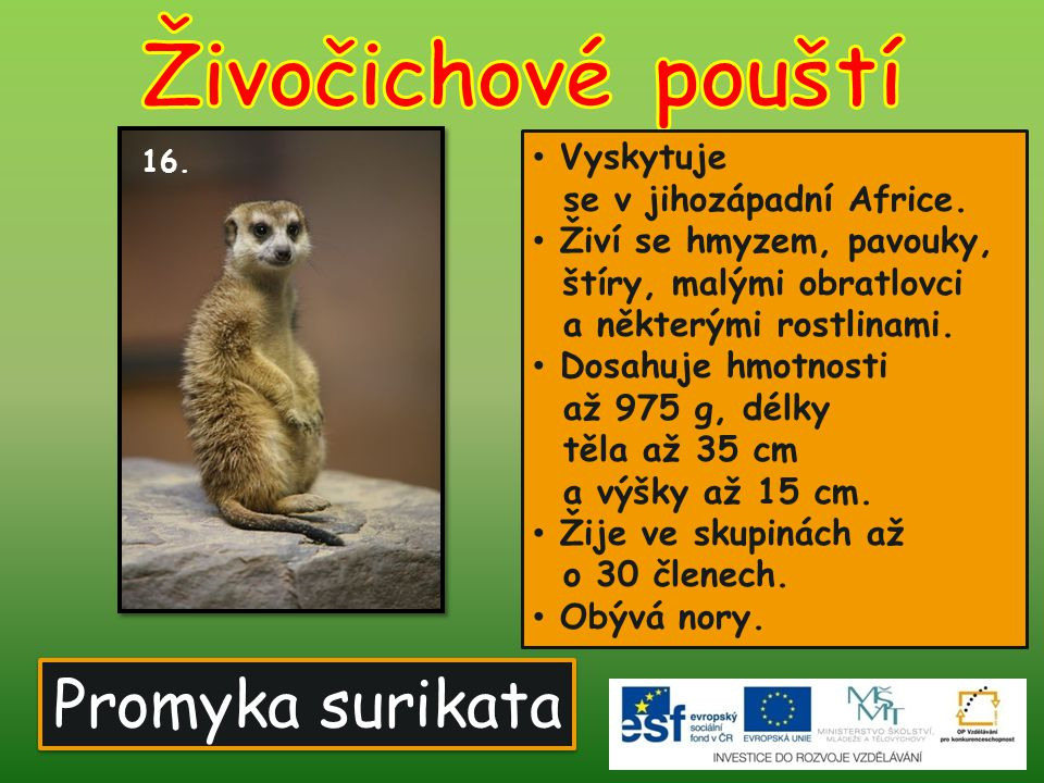 Živočichové pouští Promyka surikata Vyskytuje se v jihozápadní Africe.