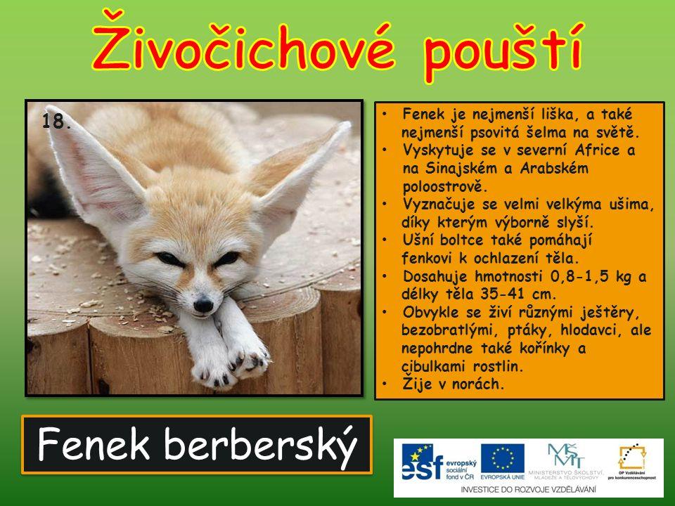 Živočichové pouští Fenek berberský 18. Fenek je nejmenší liška, a také