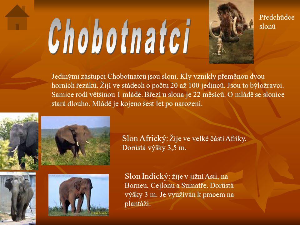 Předchůdce slonů Chobotnatci.