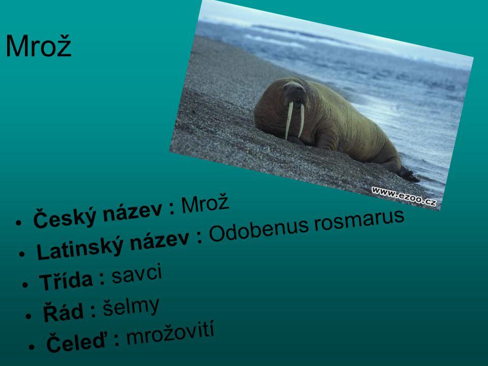 Mrož Český název : Mrož Latinský název : Odobenus rosmarus